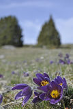 Pasque-flowers Stock Photos