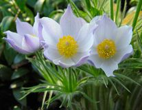 Pasque-flowers Stock Photos