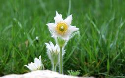 Pasque flowers Stock Photos