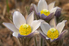 Pasque flowers blooming stock photo