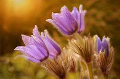 Pasque Flowers blooming on sunset meadow Royalty Free Stock Photos