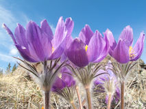 Pasque Flowers Close-up In Natural Environment Royalty Free Stock Photo