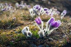 Pasque Flowers de florescência no prado Imagem de Stock Royalty Free