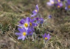 Pasque Flowers in de Lente Stock Afbeeldingen