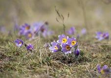 Pasque Flowers in de Lente Stock Foto's