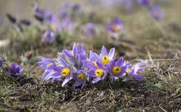 Pasque Flowers in de Lente Royalty-vrije Stock Afbeeldingen