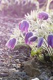 Pasque flowers Stock Image