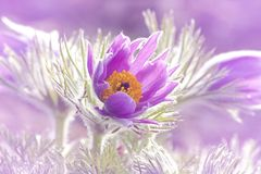 Pasque flowers Stock Images