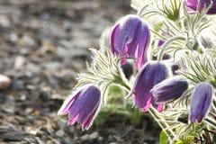 Pasque flowers Stock Photo