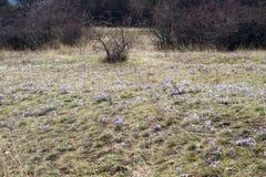 Pasque Flowers en la primavera Imagenes de archivo