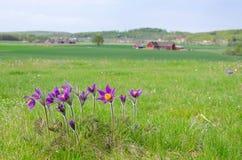 Pasque Flowers In Sweden