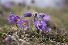 Pasque Flowers na primavera Fotografia de Stock Royalty Free