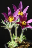 Pasque flowers in a pot Stock Image