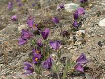 Pasque-flowers or Pulsatilla patens in nature, on the rocky grou Royalty Free Stock Photo