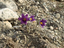 Pasque-flowers or Pulsatilla patens in nature, on the rocky grou Stock Photo