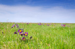 Pasque flowers on the spring meadow Stock Photos