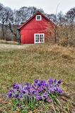 Pasque-flowers on spring Swedish field Stock Photography