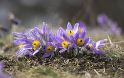 Pasque Flowers in the Springtime Stock Photo