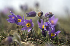 Pasque Flowers in the Springtime Stock Images