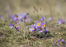 Pasque Flowers in the Springtime Stock Photos