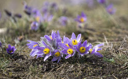 Pasque Flowers in the Springtime Royalty Free Stock Images