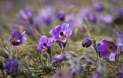 Pasque Flowers in the Springtime Stock Photography