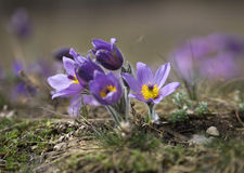 Pasque Flowers in the Springtime Royalty Free Stock Photography