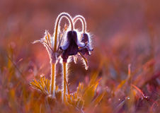 Pasque flowers Royalty Free Stock Photos