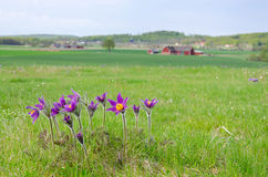 Pasque flowers in Sweden Royalty Free Stock Photo