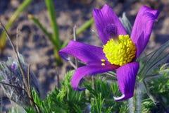 Pasque kwiat zdjęcia stock
