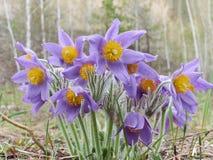 Pasque kwiat, pierwszy wiosna kwiat Obrazy Royalty Free
