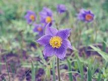 Pasque kwiat, pierwszy wiosna kwiat Fotografia Royalty Free