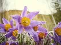 Pasque kwiat, pierwszy wiosna kwiat Obraz Royalty Free