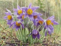 Pasque kwiat, pierwszy wiosna kwiat Zdjęcia Royalty Free