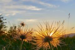 Pasque kwiat po kwitnąć Obraz Royalty Free