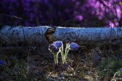 Pasque kwiatu kwitnąca wiosna przy zmierzchem - Pulsatilla Grzywna zamazujący naturalnego tła kolor fotografia royalty free
