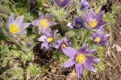 Pasque kwiatu Pulsatilla vulgaris w słońcu Fotografia Stock