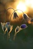 Pasque lös blomma och inställningssol Arkivbilder