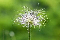 Pasque (Pulsatilla slavica) Royalty Free Stock Photo