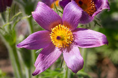 Pasque spring flowers. Pasque flowers in the spring garden Royalty Free Stock Photography