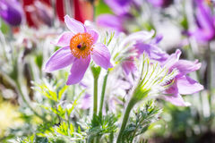 Pasque spring flowers Royalty Free Stock Photography