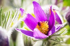 Pasque spring flowers Royalty Free Stock Image