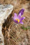 Pasque Wild blomma Arkivbilder