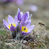 Pasque Wild Flower with a bee Royalty Free Stock Images