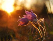 Pasque wild flower in evening light Stock Photos