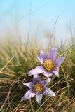 Pasque Wild Flower in grass Stock Photography