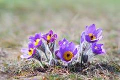 Pasque Wild Flower Group Imagen de archivo libre de regalías