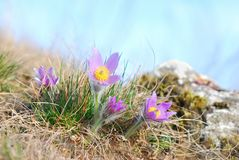 Pasque wild flowers blooming in spring Royalty Free Stock Images