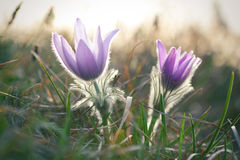 Pasque wild flowers blooming in springtime Stock Photos