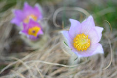 Pasque wild flowers in early springtime Royalty Free Stock Photography